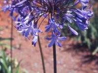 Agapanthus caulescens subsp. caulescens