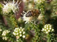 Image of A. apiculata bloom