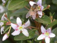 Agathosma crenulata and bee