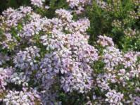 Agathosma glabrata