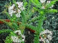 Agathosma lanceolata