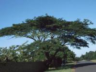 Albizia adianthifolia var. adianthifolia