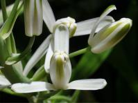 Flowers of Albuca nelsonii. (Alice Notten)