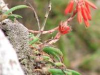 Aloe challisii