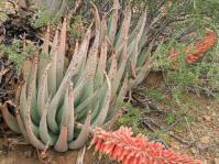 Aloe claviflora with angled inflorescence