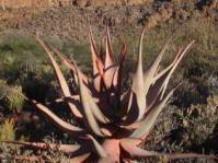Aloe comosa in habitat