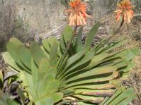 Kumara haemanthifolia