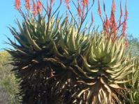 Aloe khamiesensis plants