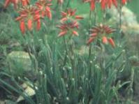 Aloe verecunda