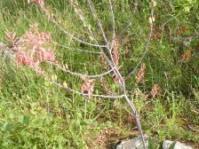 Aloe zebrina plant