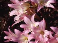 Amaryllis belladonna: Photo C Paterson-Jones