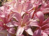 Ammocharis longifolia