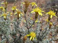 Antithrixia flavicoma shrub