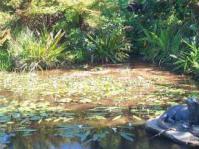 Waterblommetjies in Kirstenbosch