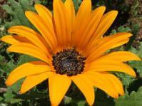 Arctotis acaulis flower - orange with black spots