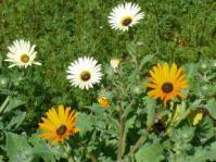 Arctotis hirsuta flowers