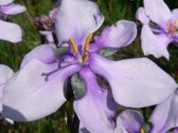 Aristea biflora