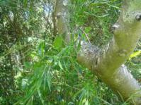 Asparagus falcatus creeper