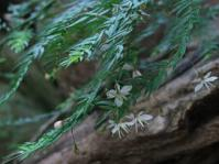 Asparagus scandens