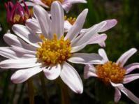 Aster laevigatus flower head