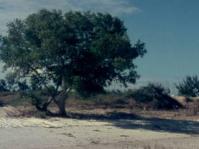 Avicennia marina tree
