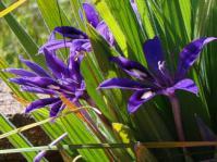 Babiana praemorsa plants