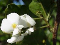 Baphia racemosa