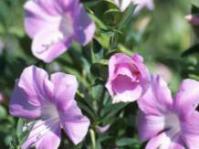 Barleria greenii