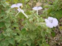 Barleria affinis
