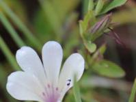 Barleria dolomiticola flower and buds