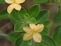 Barleria holubii flowers and leaves