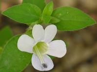 Barleria scindens flower