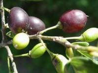 Ripening fruits. Image Geoff Nichols
