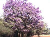 Bolusanthus speciosa