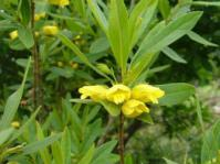 Image of Bowkeria citrina