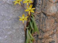 Growing in habitat Paradyskloof in spring.