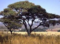 Burkea africana tree
