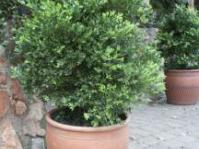 Buxus macowanii