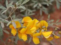 Calobota cytisoides inflorescence