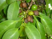 Leaves and fruits