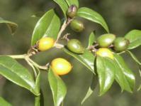 Cassinopsis ilicifolia in fruit