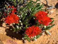 Cephallophyllum alsotonii