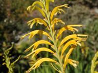 Chasmanthe floribunda 'Duckittii'