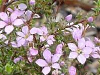Coleonema aspalathoides