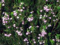 Bush in flower