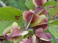 Fruit of Combretum kraussii:©G.Nichols