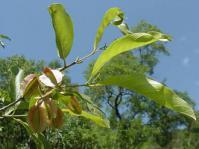 Combretum apiculatum subsp. apiculatum