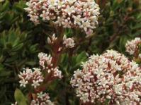 Crassula rubricaulis flowers