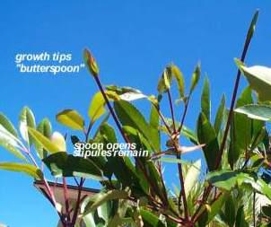 "Stipules forming ""butterspoon"""