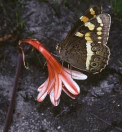 Mountain Pride butterfly on flower. Photo Colin Paterson Jones